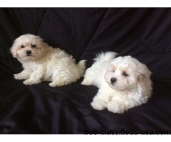 Adorable  Maltese Pups for adoption