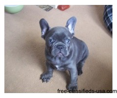 Pure breed AKC  French Bulldog Puppies for Sale