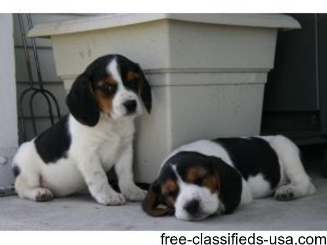 Beautiful Beagle Puppies For Sale Animals Rhodes Michigan