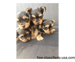 Gorgeous Yorkshire terrier puppies