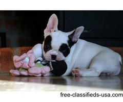 Chrismas giift french bulldog puppies ready for new home