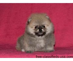 New!!! Elite Pomeranian puppy for sale