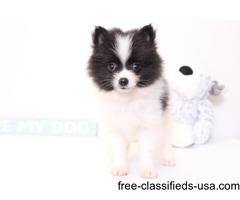 Olly is a cute little Pomeranian puppy.