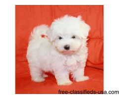 Handsome Male Maltese Puppy!