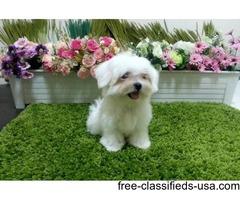 Tiny & Precious Maltipoo Puppies