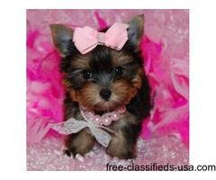 Adorable Teacup tiny size Yorkie puppies Ready