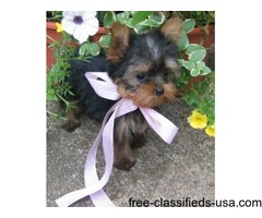 AKC Teacup tiny size Yorkie puppies Ready