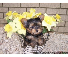 Cute Teacup tiny size Yorkie puppies Ready