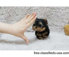 Good looking Teacup tiny size Yorkie puppies Ready