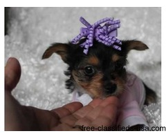 Sweet Teacup tiny size Yorkie puppies Ready