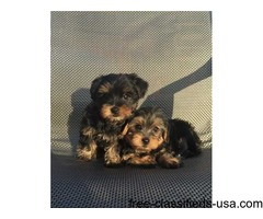 Sweet Teacup tiny size Yorkie puppies Ready for Adoption