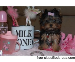 Adorable Teacup Yorkie Puppies Available Now!