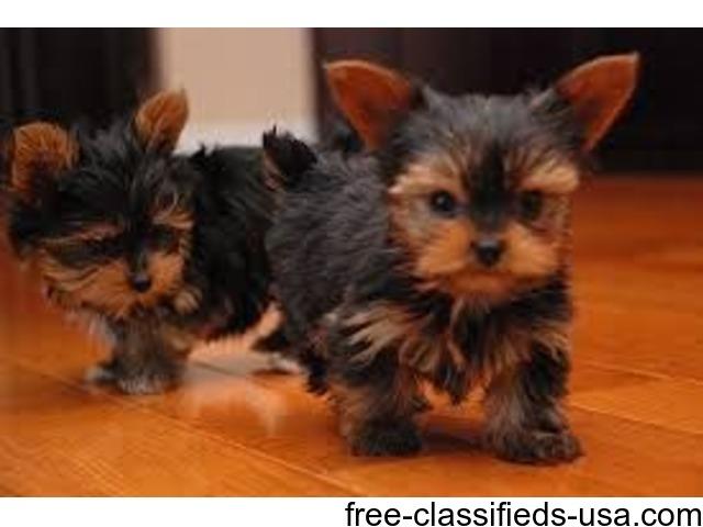 Tiny Babydoll Teacup Yorkie Puppies - Animals - Guntersville