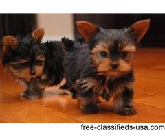 Tiny Babydoll Teacup Yorkie Puppies