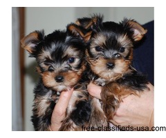 Potty trained male and female Yorkie pups available.