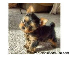 Toy yorkie terrier
