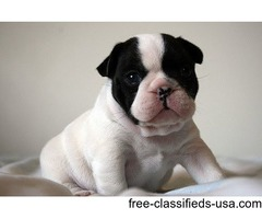 cute and adorable french bulldog puppies looking for  new homes