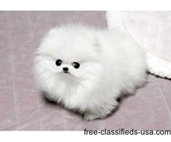 Micro  Teacup Pomeranian Puppies for christmas