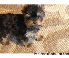 Xmas Gorgeous Baby Yorkie puppies for sale