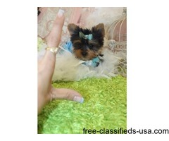 well trained Yorkie Terrier Puppies