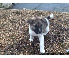 Beautiful Akita Boy Puppy