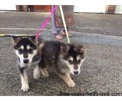 Giberian Shepsky puppy for sale | free-classifieds-usa.com