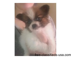 Pedigree papillon puppy