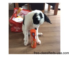 Jenson - Male Border collie puppy 11weeks