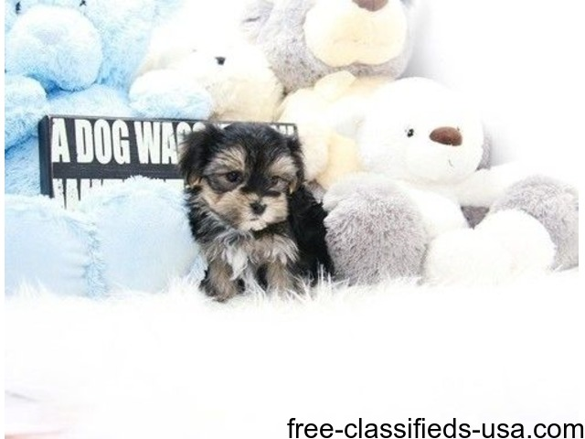 Two Top Class Yorkshire Terrier Puppies Available | free-classifieds-usa.com