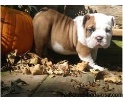 adorable English-Bulldog