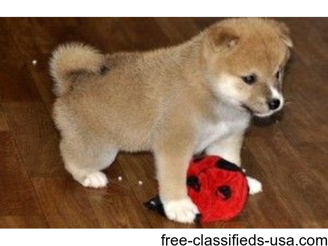 Amazing shiba inus for new homes 470 377 0307 animals antioch