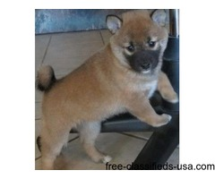 The Shiba Inu pups are affectionate