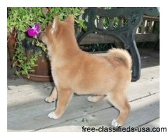 Super Shiba Inu Puppies Available Now