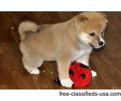 Sweet Shiba Inu Puppies For New Homes