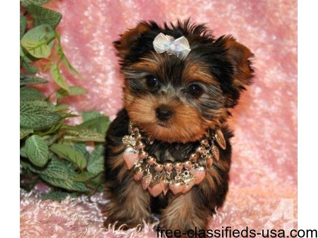 2 Yorkie Puppies For Adoption Animals Beauty Kentucky