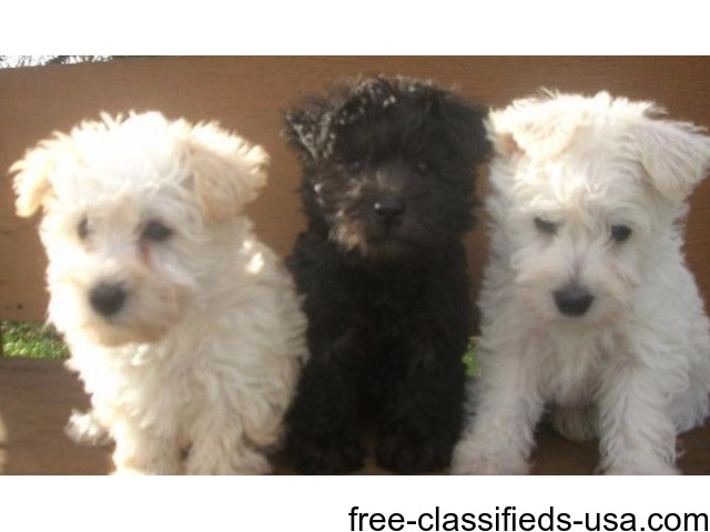 Schnoodle Puppies Animals Rudd Iowa Announcement 43836