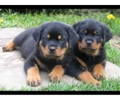 Cute Pure Breed puppies males & females