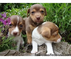 Lovely Jack Russell puppies for free.