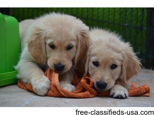Two Gorgeous Quality Akc Golden Retriever Puppies Animals
