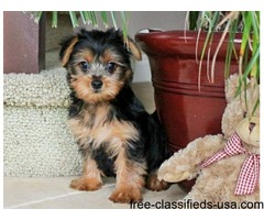 X-MAS REGISTERED HOME TRAINED YORKIE PUPPIES READY