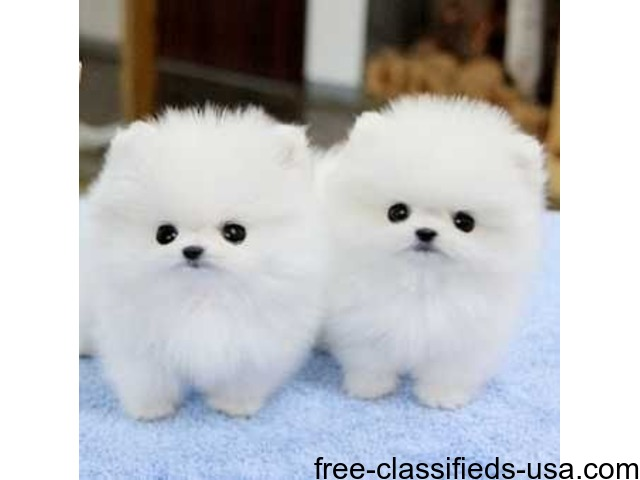 Teacup Pomeranian puppies - Animals - Indianapolis - Indiana