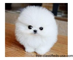 Sweet  Teacup Pomeranian Puppies for christmas