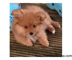 Pomeranian puppies so fully Adorable Ready Now
