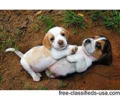 Beagle puppy ready now