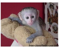 Healthy and well trained capuchin monkey for rehoming