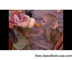 Cute capuchin monkeys available