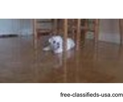 pure bred english bulldog available for rehoming