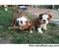 English bulldog puppies now available