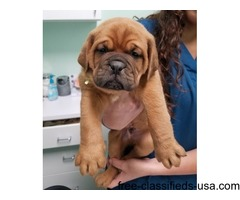 Quality Dogue De Bordeaux Puppies