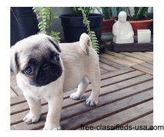 Pugs are available